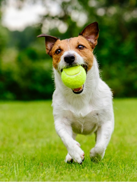 Small dog running on grass with yellow tennis ball in mouth