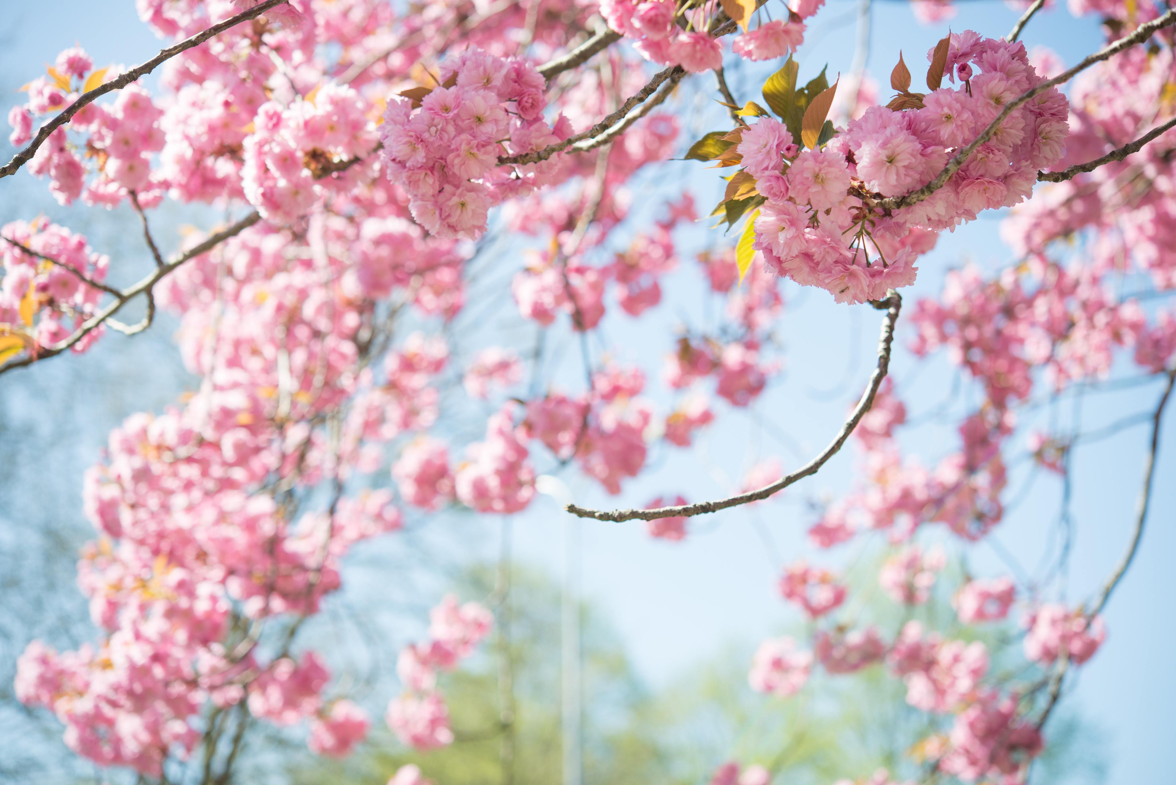 Best Time To See Cherry Blossoms In Vancouver