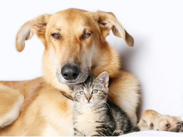 Dog with kitten