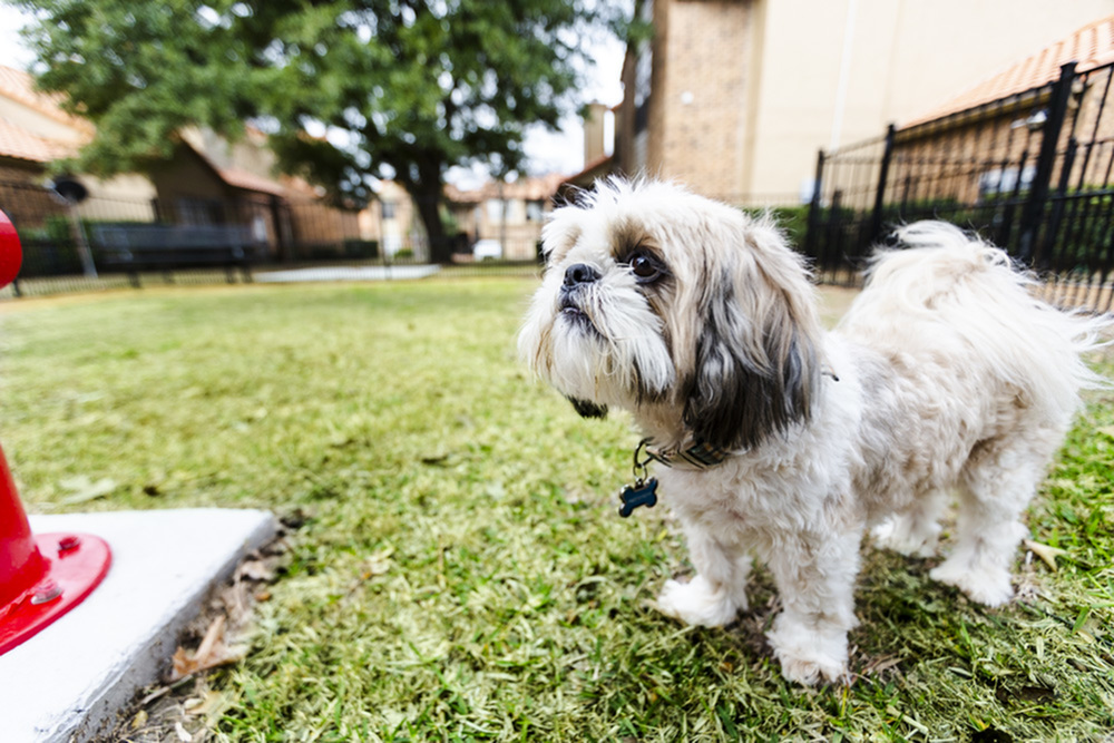 View of Dog Park, Showing Small Dog Standing Next To Fire Hydrant at Spring Pointe Apartments