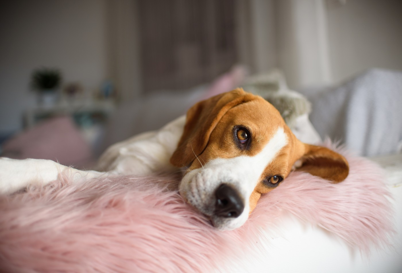 beagle dog lying on couch sofa in living room