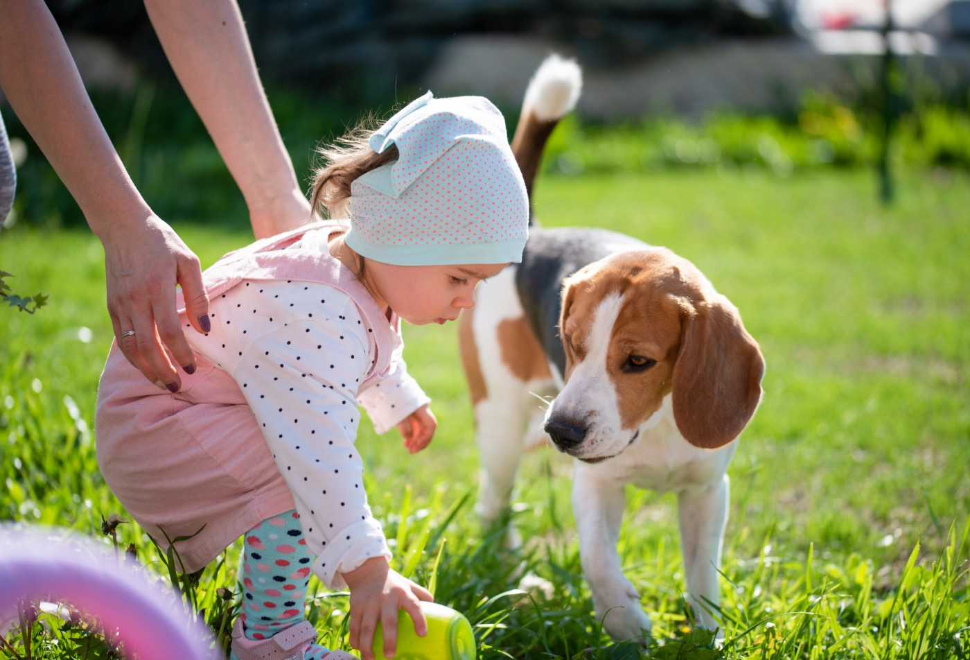 Little girl child playing in sunny day in backyard with her best friend beagle dog