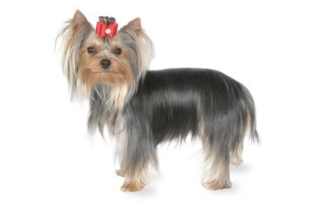Commonly Known As The Yorkie These Affectionate Dogs Can Make Great Apartment Pets They Re Small And Be Exercised Easily Indoors