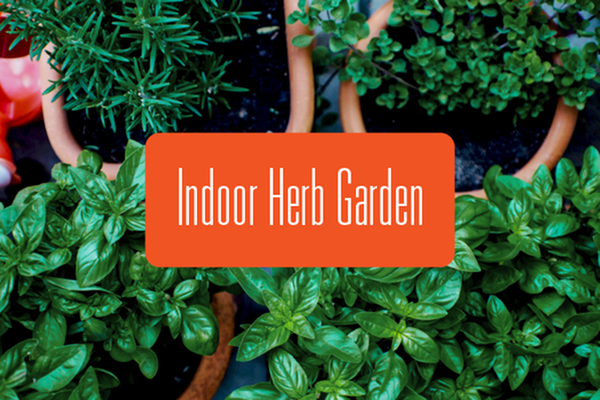 Growing Herbs Indoors over Winter-image